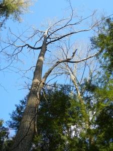 oak with dead brance