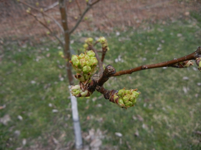 asian pear buds