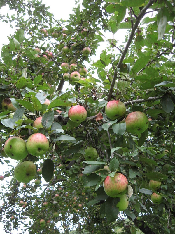 organic apple crop
